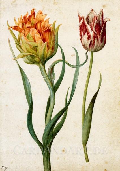 Flegel, Georg - Zwei Tulpen - Postkarte