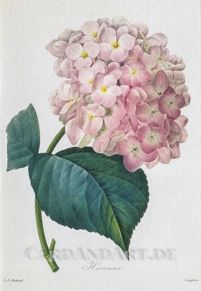 Redouté, Joseph Pierre: Hortensie - Doppelkarte