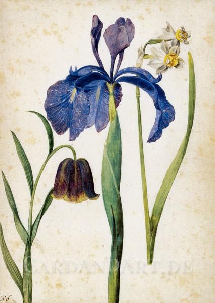 Flegel, Georg - Iris, Narzisse, Fritillaria - Postkarte