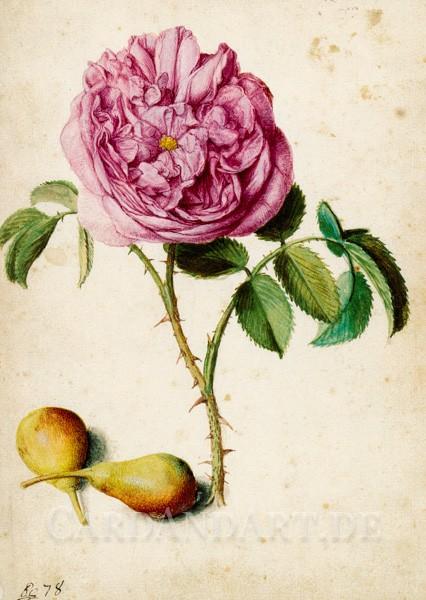 Flegel, Georg - Batavische Rose und zwei Birnen - Postkarte