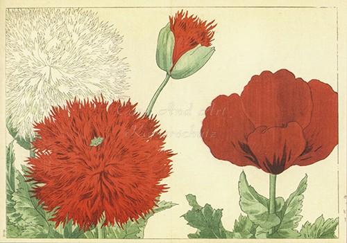 Konan Tanigami: Mohnblumen - Postkarte