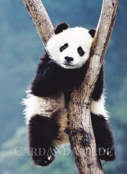 Bambusfresser - Postkarte