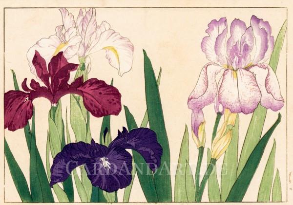 Konan Tanigami: Schwertlilien Postkarte
